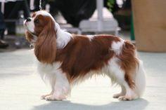 Sweet, loving, happy little dogs <3  Cavalier King Charles Spaniels