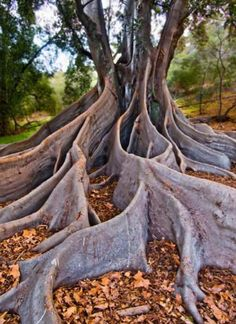 Rooted Image by Nicholas Allen Location - Kings Park, Perth Western Australia. Perth Western Australia, Australia Travel, Australia 2017, Wonderful Places, Beautiful Places, Amazing Things, The Places Youll Go, Places To See, Australian Continent