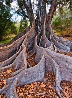 Beautiful tree in Kings Park, Perth, Australia