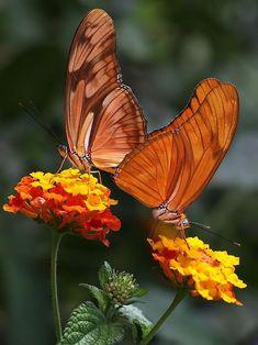 Photo of butterflies on lantana blossoms