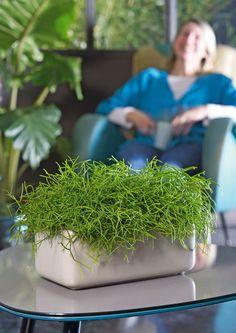 Asparagus plumosus peperomia rotundifolia juncus for Asperge plante interieur