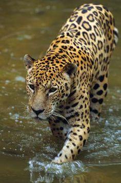 7 Jaguars Ideas Jaguar Animal Wild Cats Animals Wild