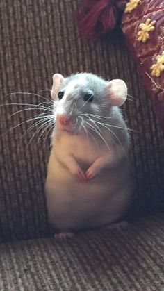 ♥ Small Pets ♥ My fancy rat Penelope. Her dumbo ears are so cute!