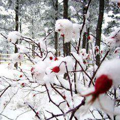 When the Snow Is On the Roses | Recent Photos The Commons Getty Collection Galleries World Map App ...