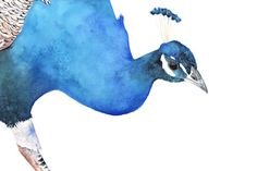 Peacock Print of watercolor painting 5 by 7 size by LouiseDeMasi