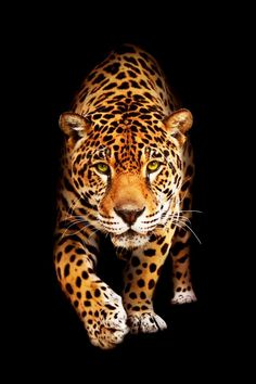 Another big cat that I love