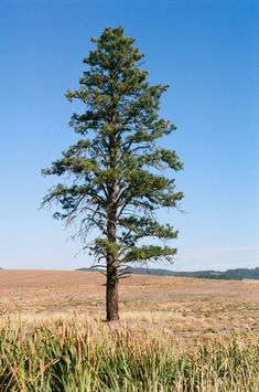 Types Of Trees 101 [All You Need To Know] Black Cherry Tree, Red Oak Tree, White Oak Tree, Red Maple Tree, Larch Tree, Conifer Trees, Deciduous Trees, Hickory Tree, American Chestnut