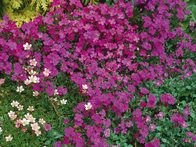 Aubrieta deltoidea; Often seen cascading over walls and rock gardens, aubretia is one of the earliest and most colorful spring-flowering perennials. H 2 in (5 cm); S 24 in (60 cm) or more.