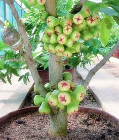 fruit in pot-green water guava/ in the Philippines it is called macopa or tambis. Fruit Plants, Bonsai Plants, Fruit Garden, Fruit Trees, Trees To Plant, Vegetable Garden, Guava Plant, House Plants Decor, Beautiful Fruits