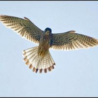 Overhead Flying Falcon