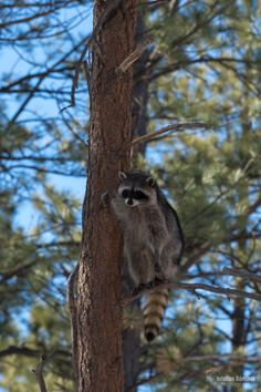 Raccoon - Found up in the trees during the day, and we suspect they come out to the yard late in the evenings just to annoy our dog.