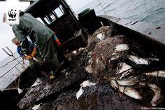 EUROPAS FISCHEREIMINISTER LEGALISIEREN ÜBERFISCHUNG!  Heute Nacht haben die EU-Fischereiminister die neuen Fangquoten für die Nordsee festgelegt – und die Fangmengen in über 50% der Fälle viel zu hoch gesetzt! Damit verstoßen sie gegen ihre eigene Reform aus dem letzten Jahr.