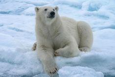 Magnificent Polar bear, Spitzbergen.