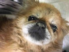 SAFE❤️❤️ 9/7/16 SUPER URGENT Manhattan Center EUSTACE – A1088449 MALE, TAN / WHITE, PEKINGESE MIX, 14 yrs STRAY – ONHOLDHERE, HOLD RELEASED Reason STRAY Intake condition GERIATRIC Intake Date 09/03/2016, From NY 10456, DueOut Date 09/07/2016,