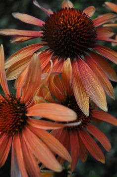 Mexican Hat Flowers Photograph