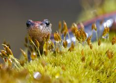 A western red-backed salamander climbs over a mossy rain-soaked log in a forested area near Elkton, Ore., on Feb. 25. These salamanders live and breed entirely on land in the damp coastal forests along the Pacific coast of North America from British Columba to southern Oregon.