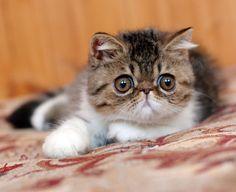 exotic shorthair cat  I love their stubby little faces