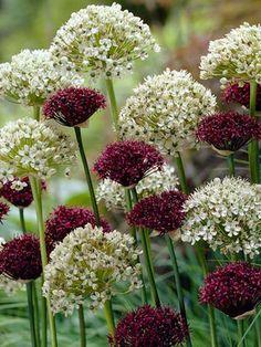 Allium 'Starlight' - A blend of deep burgundy and white alliums.