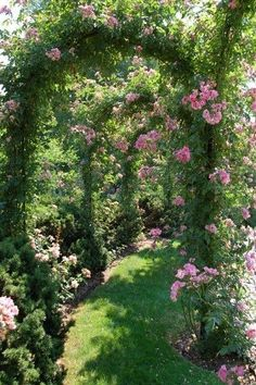 Ivy on the wall. Tunnel of pink roses. climbing plants gallery. arched trellis.  edera sul muro. galleria di rose rampicanti su archi di metallo. #climbingroses #flowers