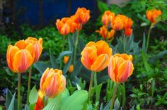Gorgeous 'Prinses Irene' tulips. Yes, I want to marry them.
