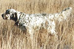 English Setter-reminds me of hunting with Robert Arms.