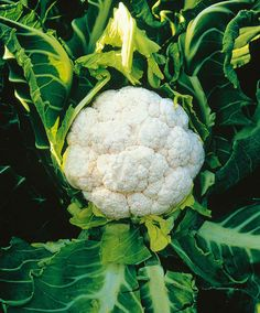 Cauliflower 'Amazing' Cauliflower 'Amazing' (Brassica oleracea) is a prolific variety. This variety is easy to grow for every home-grower, whether in cool or warm weather. 'Amazing' wraps itself in its own leaves ensuring beautiful, white curds.