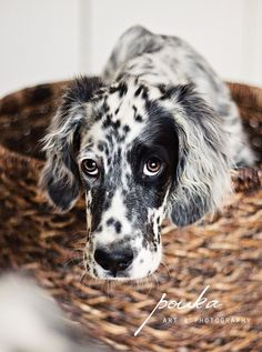 English setter lovely: