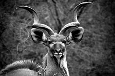 Male Kudu Portrait by Siluriformes.deviantart.com on @deviantART