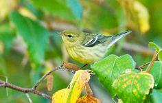 Bird Watching: Catching Fall Bird Migration By: Bill Thompson III via Nature Rocks Blog