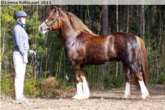 Welsh Pony of Cob Type (section C) - gelding Moondelight Rose Prince