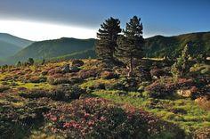 Almrauschblüte in den Kärntner Nockbergen. Was ist Almrausch? Das sind pinke Almrosen, die ab Mitte Juni bis Mitte Juli blühen. https://plus.google.com/u/0/109539196867849800597/posts