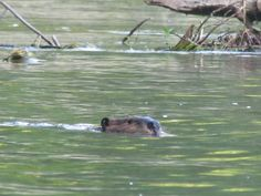 Beaver - Allegheny River - photo by Paul Downing