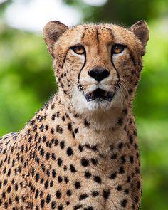 """""""I hate this waterproof eyeliner..""""  Cheetah"""