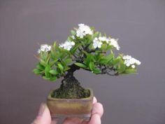 盆栽:花は一様の春を知る|春嘉の盆栽工房