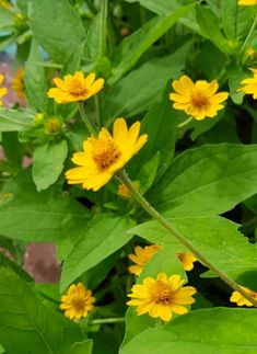"""Wedelia """"yellow creeping-oxeye"""" flower. A famous groundcover plant with a small yellow flower like daisies. #floweringplant #groundcover #floweringplant #wedeliaflower"""