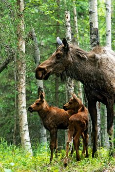 Moose twins and their mother...and to think some poor excuse for a human being takes pleasure in shooting them...tragic.