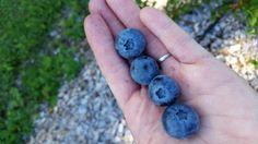 Highbush Blueberry, Fruit