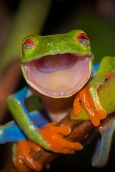 Kermit the frog shoots a wide beamed grin as its bulbous bloodshot eyes stare into the camera in West Sussex Happy Animals, Animals And Pets, Funny Animals, Cute Animals, Smiling Animals, Funny Frogs, Cute Frogs, Beautiful Creatures, Animals Beautiful