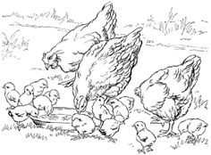 Click Mother hens and baby chicken Coloring page for printable version