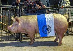 Detalles y Fotos de todos los grandes campeones, reservados de grandes campeones y campeones machos y hembras de todas las razas porcinas y camélidos PORCINOS DUROC JERSEY Campeón Macho Lote 2032 Capitan 233 - Expositor: Pecorelli, José Alberto Campe