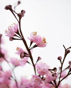 Flower of my childhood - Plum Blossom #flowersmithbook