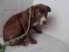 05/11/17-ROSENBERG, TX - FOSTER NEEDED!!! This DOG - ID#A010787    I am a male, brown and white Labrador Retriever mix.    The shelter staff think I am about 6 months old.    I have been in shelter care since Apr 11, 2017.    This information was refreshed 5 minutes ago and may not represent all of the animals at the Fort Bend County Animal Services Shelter.