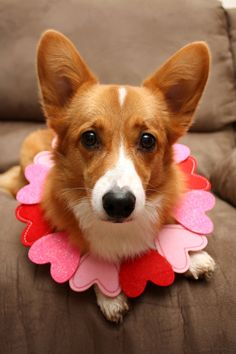 All About Small Pembroke Welsh Corgi Puppy Grooming Corgi Funny, Cute Corgi, Puppy Care, Pet Puppy, Puppy Grooming, Really Cute Puppies, I Love Dogs, Corgi Facts, Pembroke Welsh Corgi Puppies