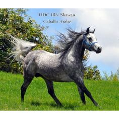 Shawan of Santa Teresa Santa Teresa, Arabian Horses, Animals, Saints, Animales, Animaux, Animal, Animais