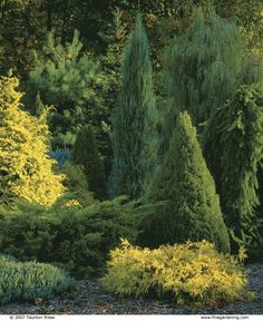 conifer garden...A mix of shapes, sizes, and colors enlivens a collection of conifers planted as a screen. The bright yellow of a Chamaecyparis obtusa 'Crippsii' shines in a stand of trees that includes the tall, cylinder-shaped Juniperus scopulorum 'Skyrocket' and the conical Alberta spruce...