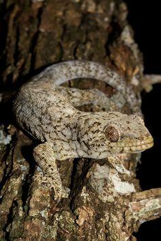 ˚Homopholis wahlbergii- Walhberg's Velvet Gecko