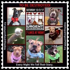 TO BE DESTROYED 12/02/17 - - Info   To rescue a Death Row Dog, Please read this:http://information.urgentpodr.org/adoption-info-and-list-of-rescues/  To view the full album, please click here:http://nycdogs.urgentpodr.org/tbd-dogs-page/ -  Click for info & Current Status: http://nycdogs.urgentpodr.org/to-be-destroyed-4915/