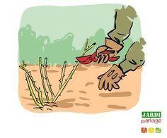 Taille des rosiers savoir tailler jardinerie truffaut conseils rosiers truffaut fleurs - Periode de taille des rosiers ...