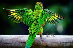 Lorikeet Wings