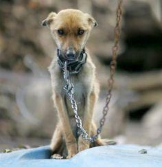 Existem muitos cães vivendo aprisionados ou acorrentados, apesar de seus proprietários insistirem em dizer que os respeitam muito.